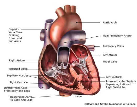 Function Of Human Heart Video Download Governor Teaches
